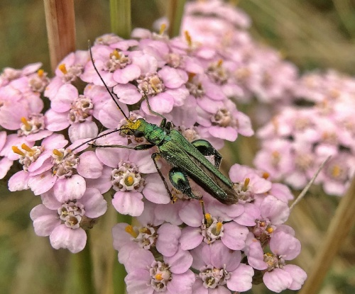 Oedemera nobilis - Lostash - Whetstone GCR Footpath - 21 July 2013
