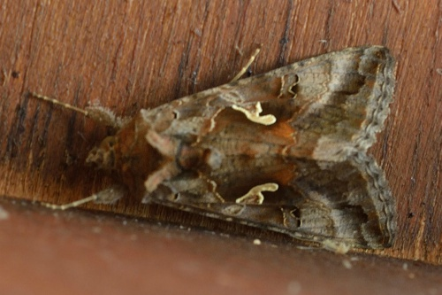 Autographa gamma - Barbara Cooper - Long Clawson - 25 July 2013