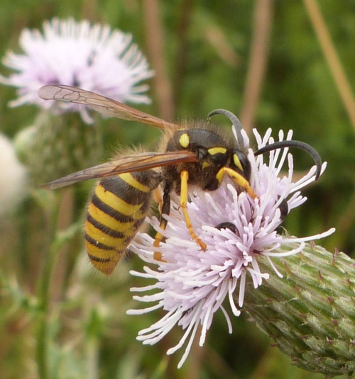 Tree Wasp  - Dolichovespula sylvestris - Graham Calow - Sapcote - 03 August 2013