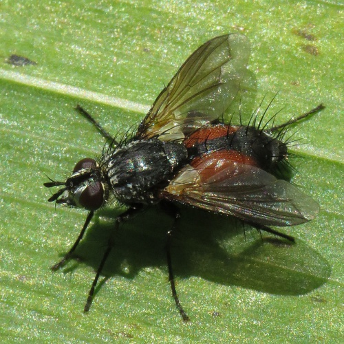Eriothrix rufomaculata - David Gould - The Spearwort Fields - 10 August 2013