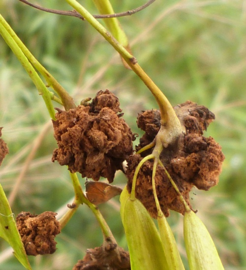 Cauliflower Gall Mite - Aceria fraxinivorus - Graham Calow - Sapcote - 12 September 2013 - Cauliflower galls on Ash 'keys'
