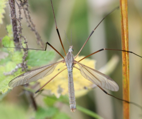 Tipula paludosa - David Nicholls - Kirby Muxloe Castle - 13 September 2013 - male