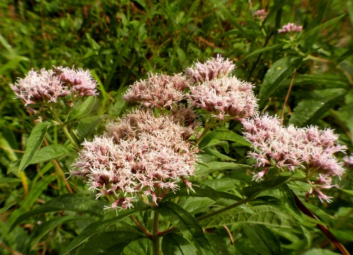 Eupatorium cannabinum - Graham Calow - Burbage Common and Woods - 16 September 2013
