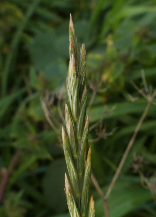 Common Couch - Elytrigia repens - Graham Calow - Sapcote - 20 September 2013