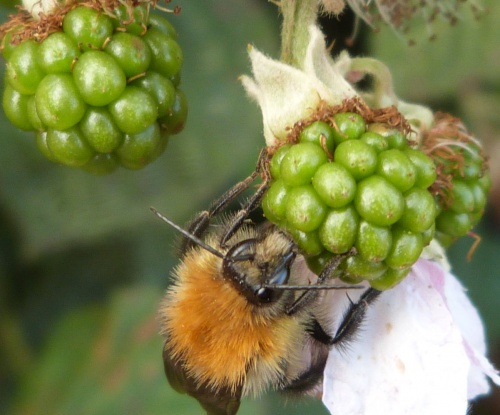 Bombus pascuorum - Graham Calow - Sapcote - 20 September 2013