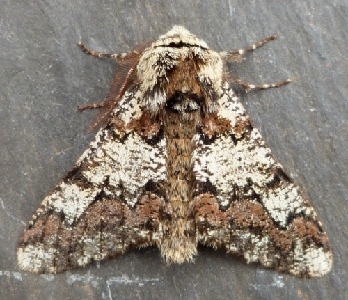 Oak Beauty  - Biston strataria - Graham Calow - Sapcote garden1 - 02 April 2014