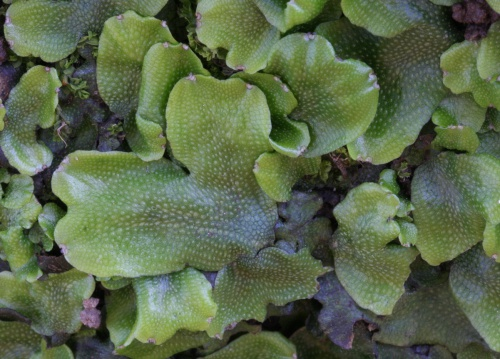 Great Scented Liverwort - Conocephalum conicum s.l. - David Nicholls - Lea Meadows - 16 April 2014
