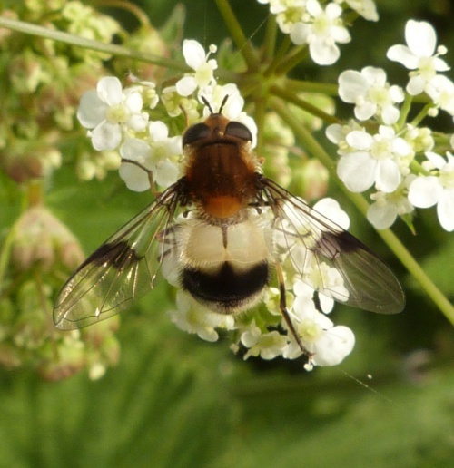 Leucozona lucorum - Graham Calow - Sapcote - 28 April 2014