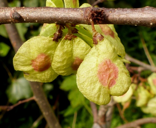 Ulmus glabra - Graham Calow - Sapcote - 28 April 2014 - seeds