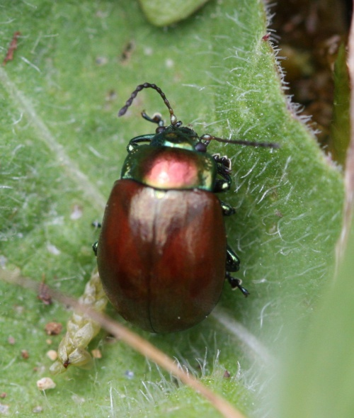 Chrysolina polita - David Nicholls - Stonesby Quarry - 16 May 2014