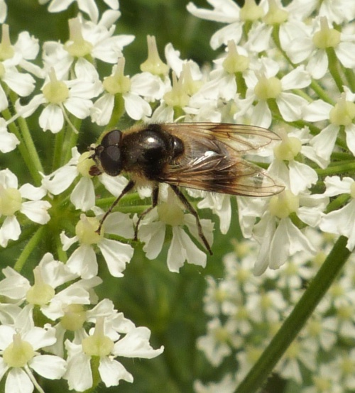 Cheilosia illustrata - Graham Calow - Fosse Meadows, Sharnford - 21 May 2014