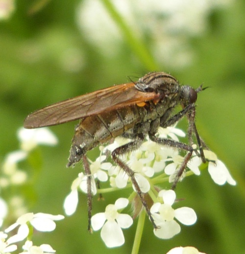 Empis tessellata - Graham Calow - Burbage Common and Woods - 23 May 2014