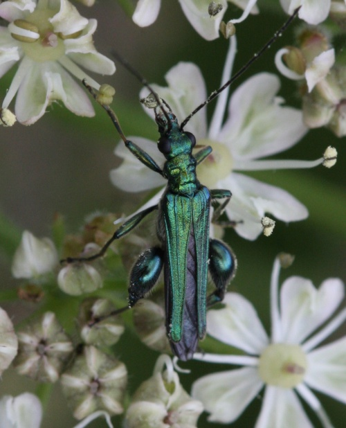 Oedemera nobilis - David Nicholls - Ratby - 24 May 2014