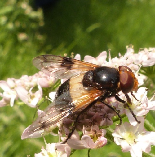 Volucella pellucens - Graham Calow - Bramble Walk, near Cosby - 01 June 2014