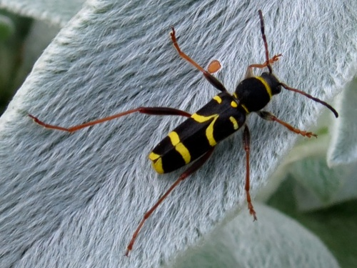 Clytus arietis - egaten - Thurlaston garden - 06 June 2014