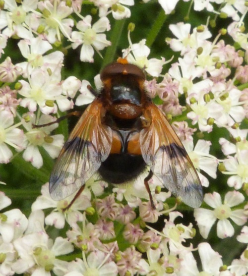 Volucella inflata - Graham Calow - Burbage Common and Woods - 07 June 2014