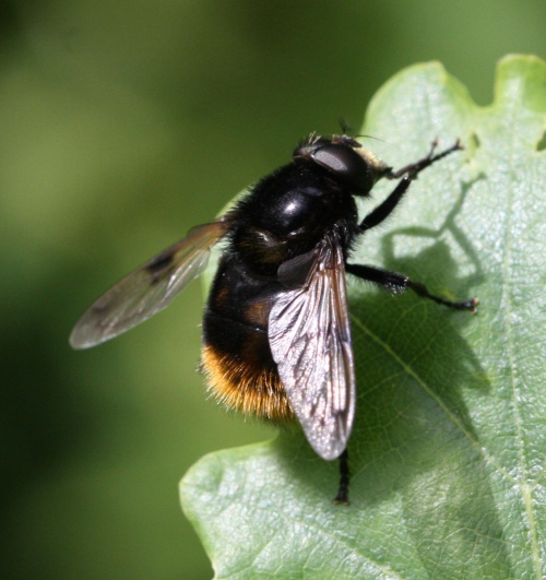 Volucella bombylans - David Nicholls - Ketton Quarry - 13 June 2014