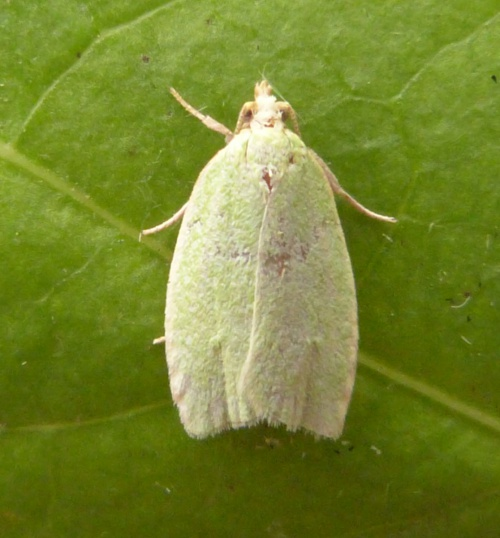Green Oak Tortrix - Tortrix viridana - Graham Calow - Sapcote garden1 - 13 June 2014