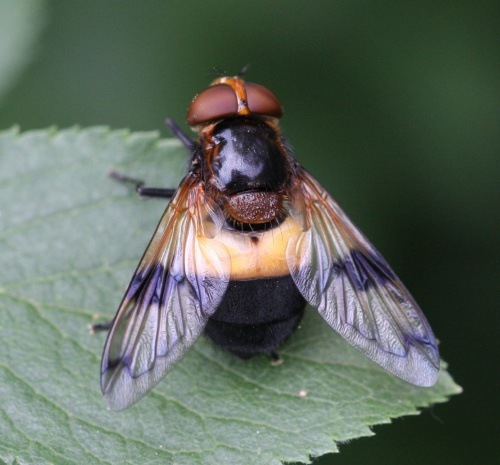 Pellucid Fly - Volucella pellucens - David Nicholls - Ketton Quarry - 13 June 2014