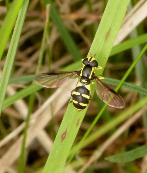 Xanthogramma pedissequum - Graham Calow - Broughton Astley Brick Quarry - 16 June 2014