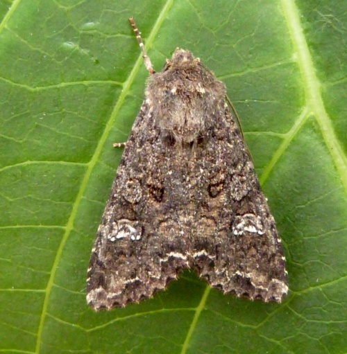 Cabbage Moth  - Mamestra brassicae - Graham Calow - Sapcote garden1 - 19 June 2014