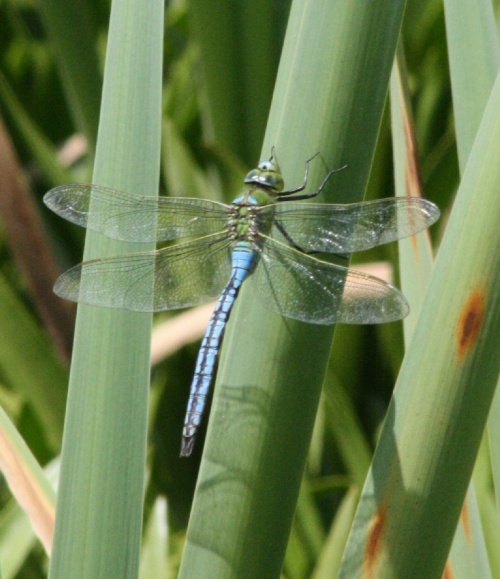 Anax imperator - Craig Mabbett - Lutterworth Country Park - 21 June 2014