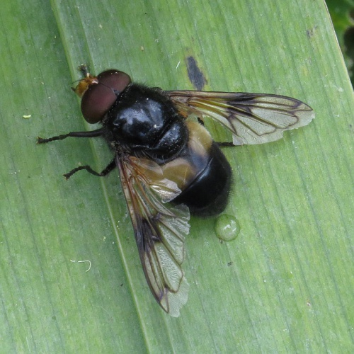Volucella pellucens - David Gould - Narborough Bog - 01 July 2014