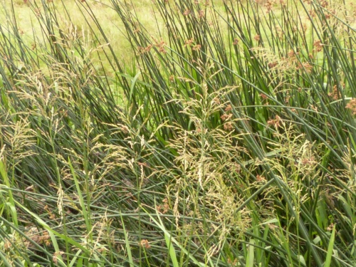Glyceria maxima - Graham Calow - Croft Pasture - 14 July 2014