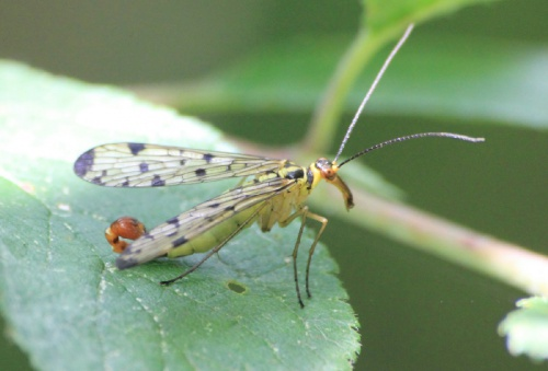 Panorpa germanica - Paul Ruddoch - Melton Mowbray Country Park - 21 July 2014 - male