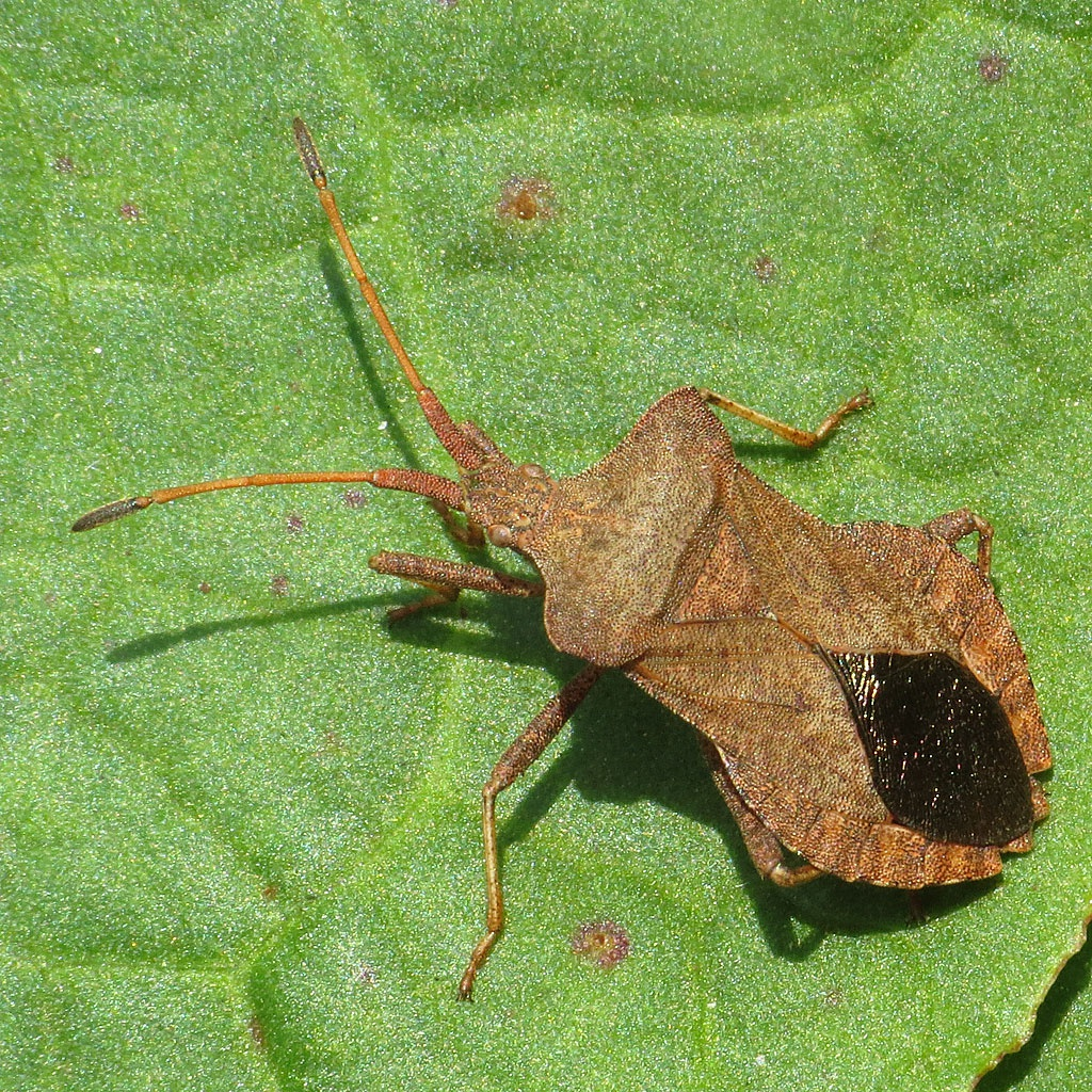 Dock Bug - Coreus marginatus | NatureSpot