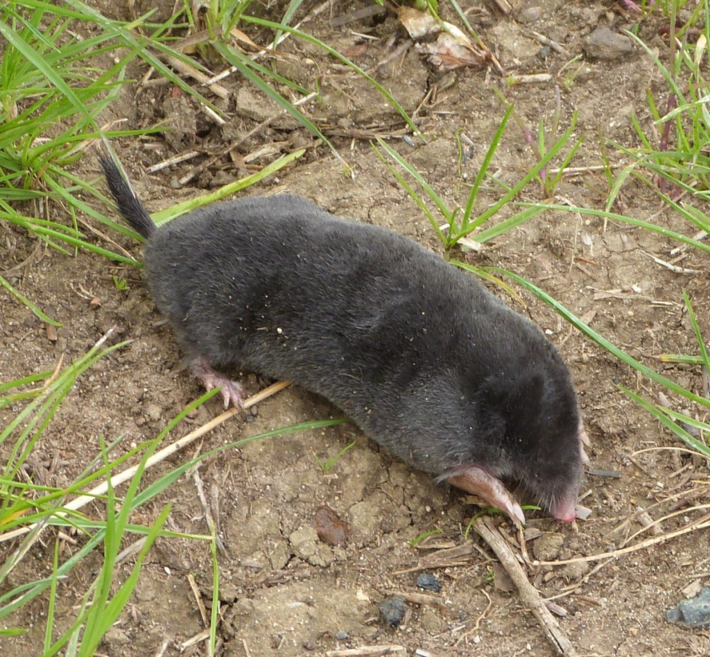 Mole talpa europaea naturespot for What does taupe mean
