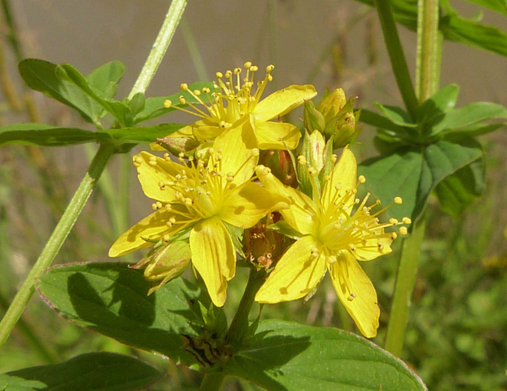 st johns wort Depression affects more than 300 million people around the world, including 1 in 10 adults in the us alone (1, 2) while many drugs effectively treat depression, some people prefer to use natural or alternative remedies st john's wort is a medicinal plant that has been used for centuries to treat depression,.