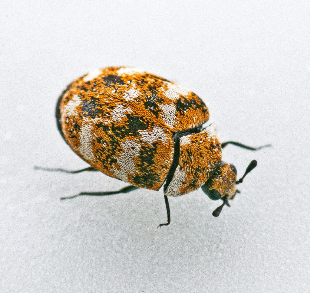 Varied carpet beetle eggs