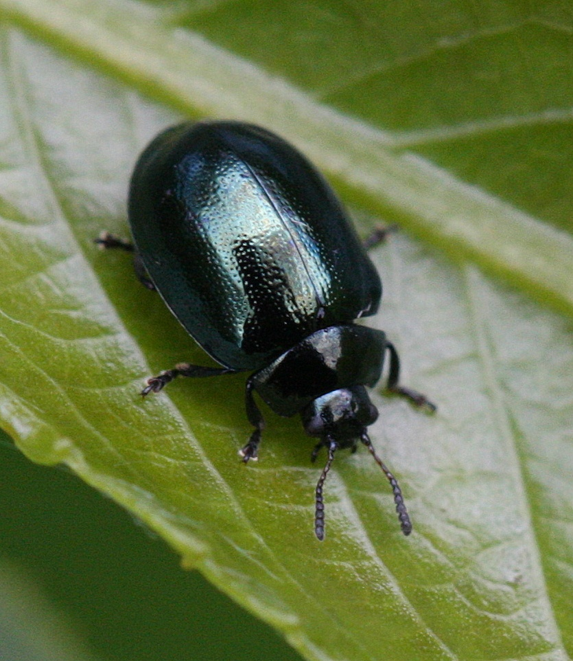 Leaf Beetle Imported Willow Leaf B...