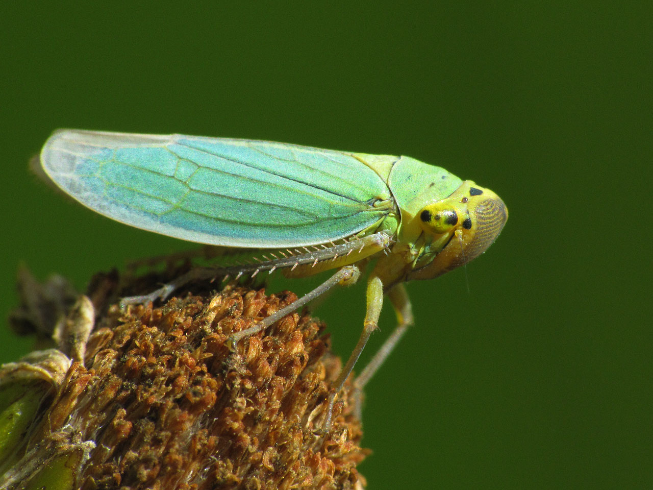 colorful leaf hopper by - photo #45