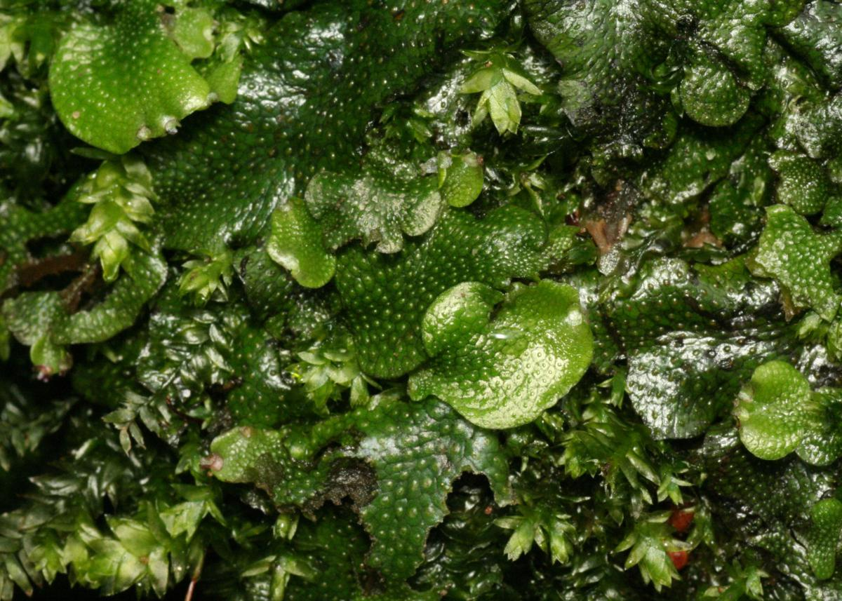 species distribution of liverworts in mt Liverwort, (division marchantiophyta), any of more than 9,000 species of small nonvascular spore-producing plants liverworts are distributed worldwide, though most commonly in the tropics liverworts are distributed worldwide, though most commonly in the tropics.