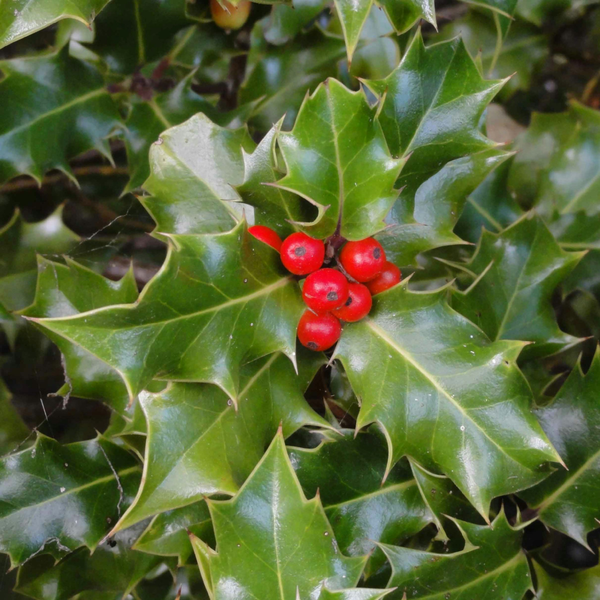 Ilex aquifolium
