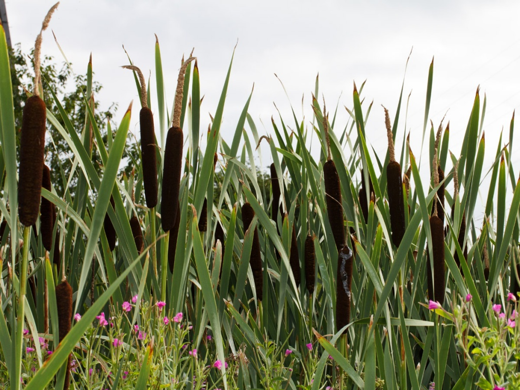 Red Bull Distribution >> Bulrush - Typha latifolia | NatureSpot
