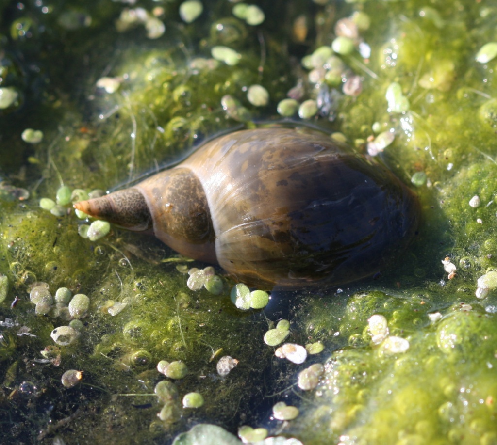 Great Pond Snail - Lymnaea stagnalis NatureSpot
