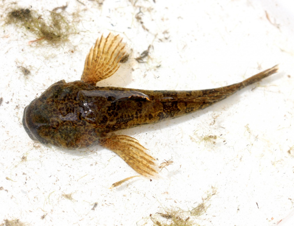 Bullhead cottus gobio naturespot for Fishpond uk