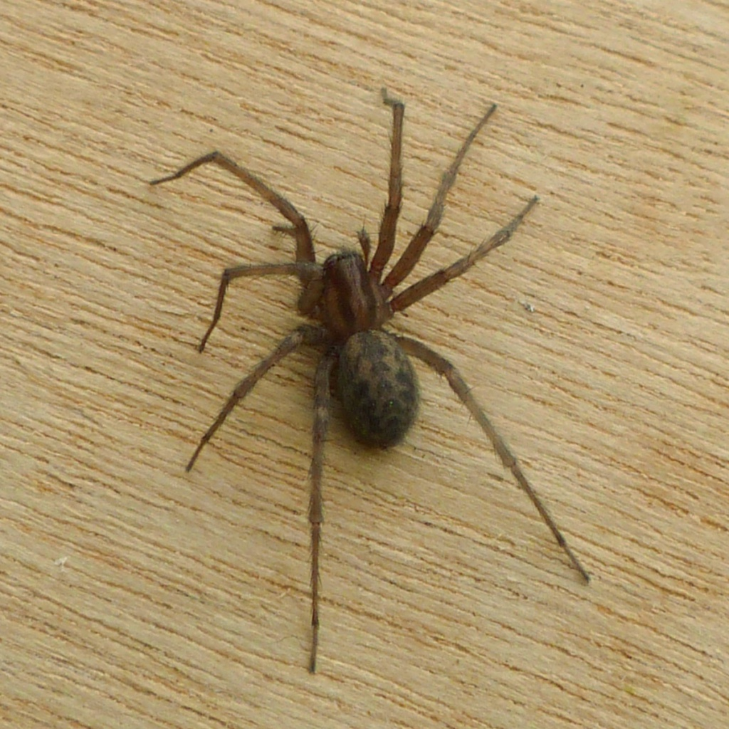 House spider pictures