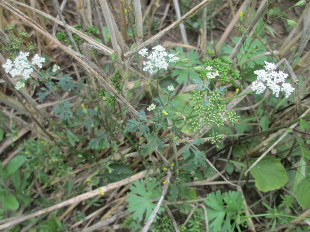 Cow Parsley Anthriscus Sylvestris Ruth Dring 02 05 2013