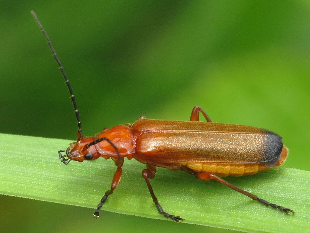 soldier Beetle  German translation  Linguee