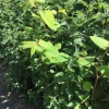 Fallopia japonica | Japanese Knotweed