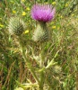 Spear Thistle  - Cirsium vulgare