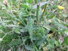 Bristly Oxtongue - Helminthotheca echioides