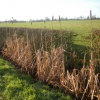 Bulrush  - Typha latifolia