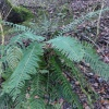 Soft Shield Fern  - Polystichum setiferum