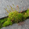 Wall Screw-moss - Tortula muralis