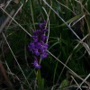 Early-purple Orchid - Orchis mascula